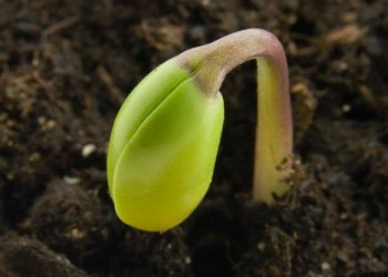 seedling sprouting