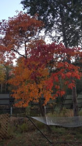 maple tree in fall colors